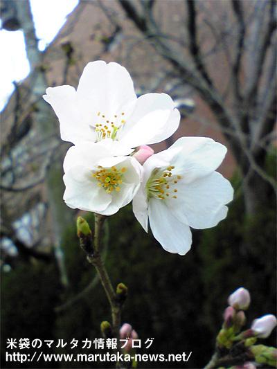 20080325sakura_hukuoka